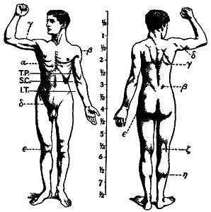 1911_Britannica_-_Anatomy_-_Muscular